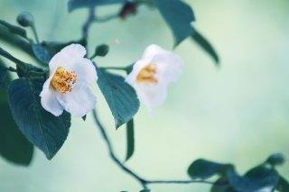 【高解像度】二輪の夏椿(ナツツバキ)(3パターン)