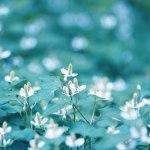 【高解像度】ドクダミの花畑(3パターン)