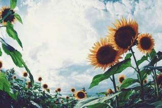 【高解像度】向日葵畑と高い空(ヒマワリ)(3パターン)
