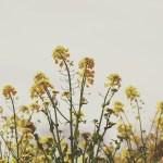 【高解像度】寂しげな菜の花畑(3パターン)