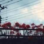 【高解像度】彼岸花と電線(3パターン)
