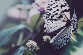 【高解像度】儚げな蝶(3パターン)