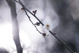【高解像度】一輪だけ咲く白梅