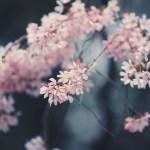 【高解像度】見上げる枝垂れ桜(シダレザクラ)(3パターン)