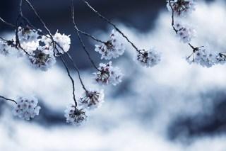 【高解像度】桜雲と桜(サクラ)(3パターン)