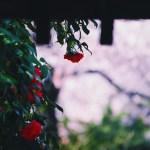 【高解像度】門前に咲く赤い椿(ツバキ)(3パターン)