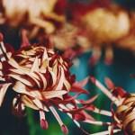 【高解像度】表裏の色が異なる菊(キク)(3パターン)