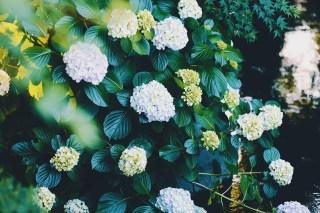 【高解像度】水辺に咲く紫陽花(アジサイ)(3パターン)
