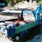 Delfinsterben im Golf von Mexico – sind die Meeressäuger von Santa Barbara die nächsten? -An Oil Spill Killed the Gulf's Dolphins—Are Santa Barbara's Marine Mammals Next?