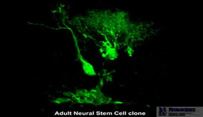 neural-stem-cell-clone