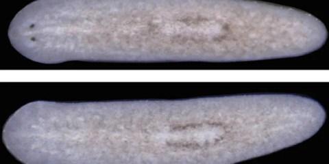 planarian-flatworm-ovo-gene-blocked