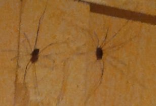 The image shows two big garden spiders on a wall.