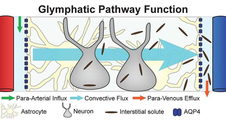 A schematic illustrating the anatomical components of the glymphatic clearance pathway.