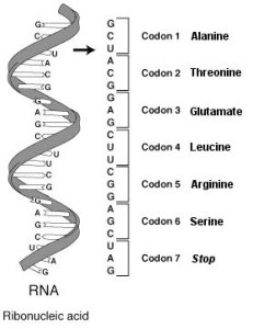 This image shows RNA-codon.png with annotations for the amino acids coded by the codons represented.