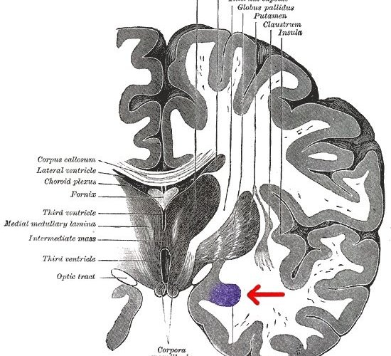 The diagram shows the location of the amygdala in the brain.