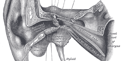This is an anatomical diagram of the ear.