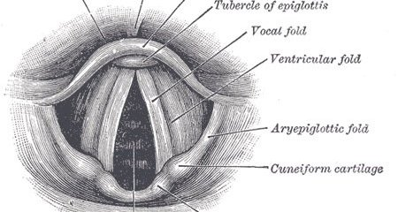 This is a diagram of the interior of the larynx anatomy.