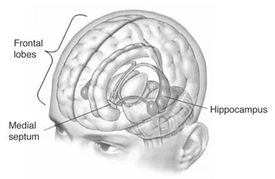 The image shows the location of the hippocampus in the human brain.