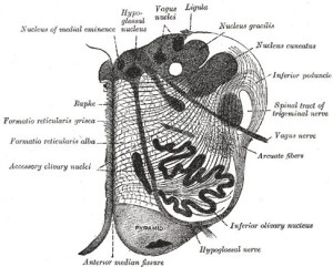 The image shows a section of the medulla oblongata at about the middle of the olivary body.