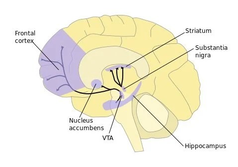This is an image of the brain's striatum and prefrontal cortex.