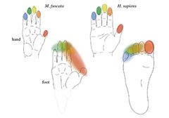 This is a map of the hand and foot.