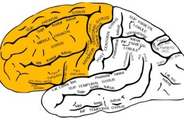 This image shows the brain with the frontal lobe highlighted.