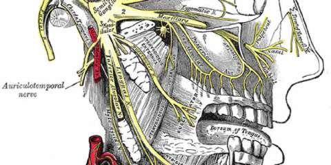 This image shows a detailed view of the trigeminal nerve and its three major divisions (shown in yellow): the ophthalmic nerve (V1), the maxillary nerve (V2), and the mandibular nerve (V3).