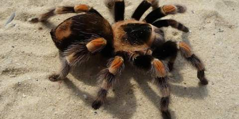 This image shows a tarantula spider.