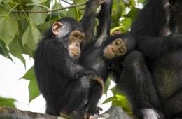Photo of two chimps in a tree.