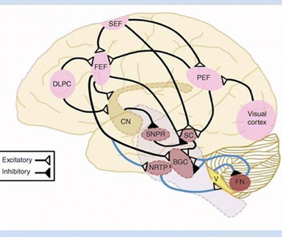 week 2 test brain response of View test prep - week 2 - weekly review_ psy101_ introduction to  1 which  of these is most likely to be released by the endocrine system in response to  stress  can be found in section 24 the brain, in psychology: the human  puzzle.