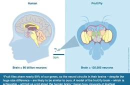Diagram of a human brain and fly brain.