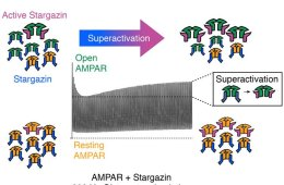 Diagram shows superactivation of ampa receptors.