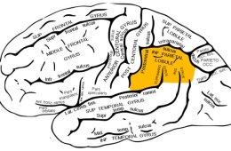 Image shows location of the inferior parietal lobe in the brain.