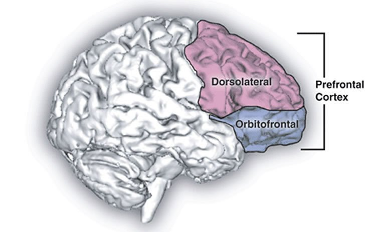 The image shows the location of the prefrontal cortex in the brain.