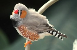 Image shows a zebra finch.