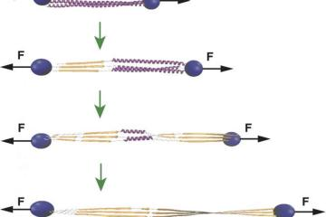 Diagram of how actin stabilizes cp.