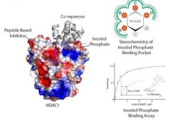 Image shows the structure of the HDAC enzyme.