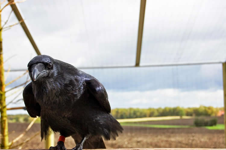This is a raven.