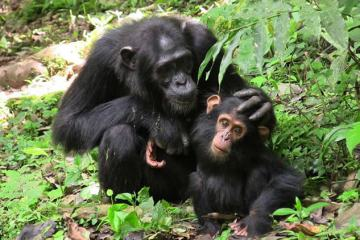 Image shows a mother and baby chimp.