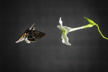 Image shows a hawk moth flying to a flower.