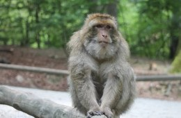 Image shows a Rhesus monkey.