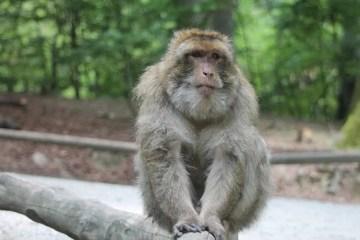 Image shows a Rhesus monkey.