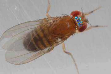 Image shows a fly.