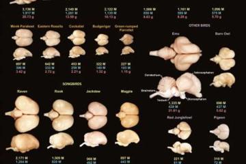 Image shows bird brains.