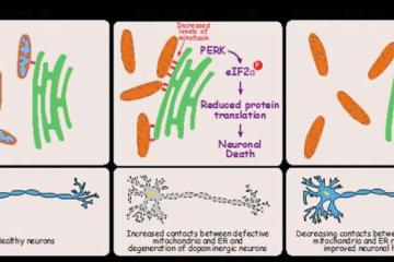 Diagram explains how PERK can cause cell death in parkinson's.