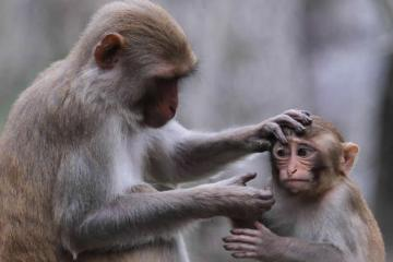 Image shows a mother monkey grooming her baby.
