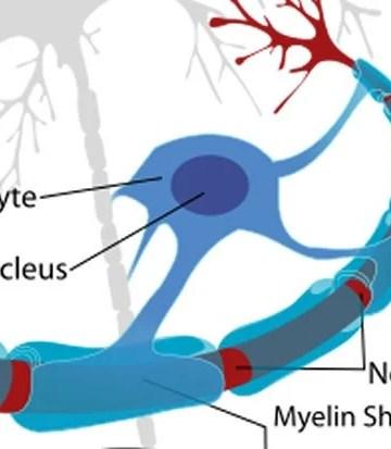 Diagram shows myelin on a neuron.