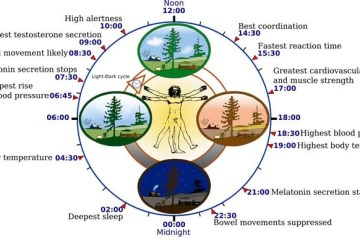 Diagram of the circadian clock.