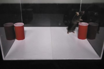 Image shows a rat in a sensory cage.