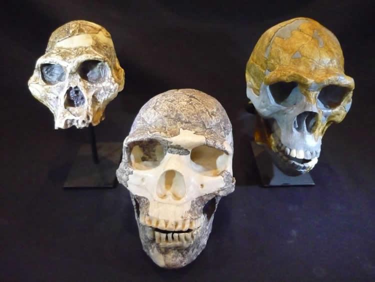 Image shows hominin skulls.